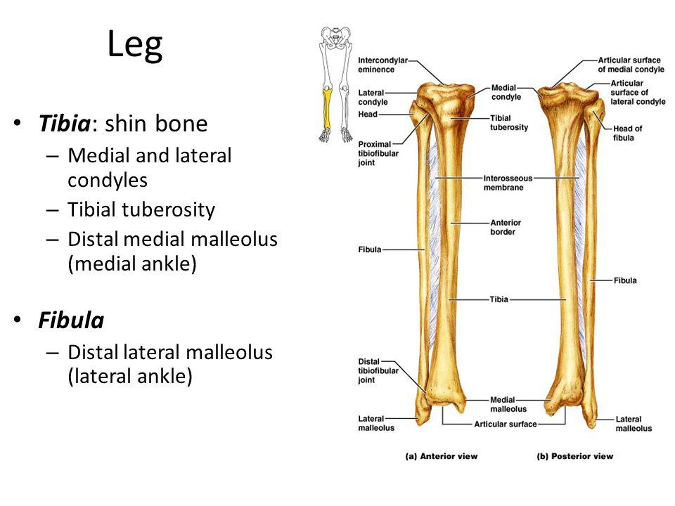 Leg Tibia: shin bone Fibula Medial and lateral condyles