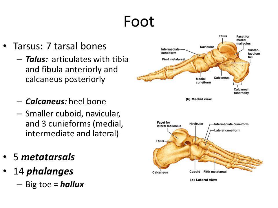 Foot Tarsus: 7 tarsal bones 5 metatarsals 14 phalanges