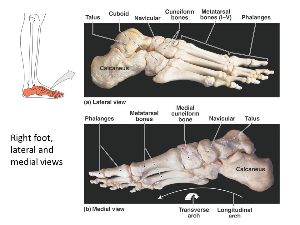 Right foot, lateral and medial views