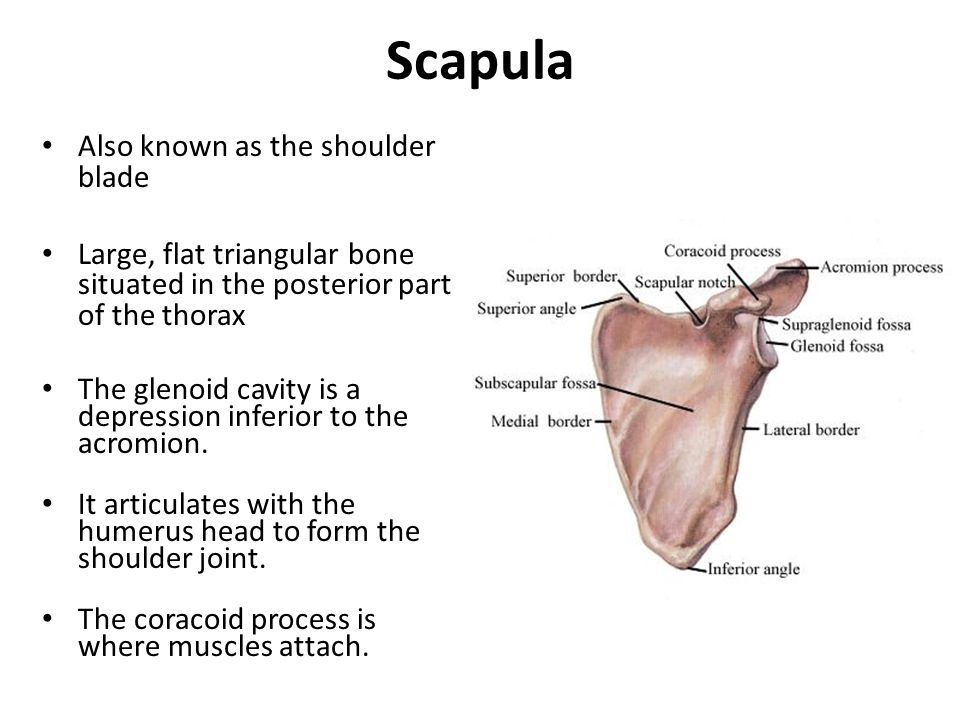 Scapula Also known as the shoulder blade