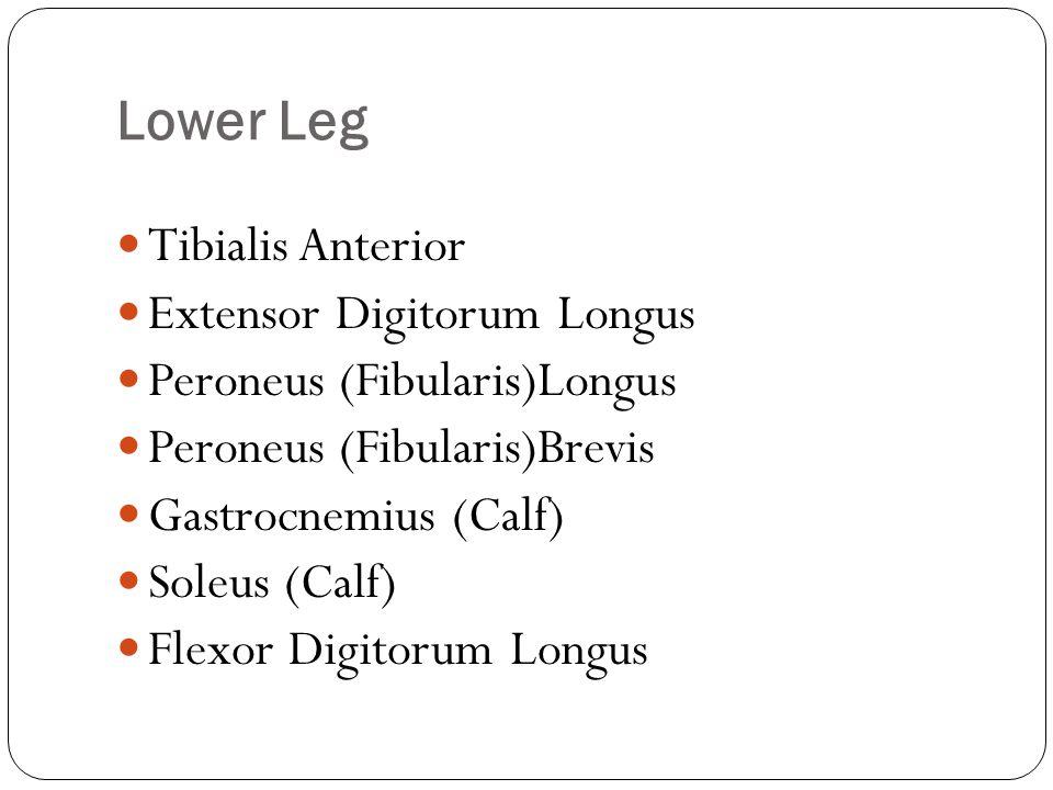 Lower Leg Tibialis Anterior Extensor Digitorum Longus