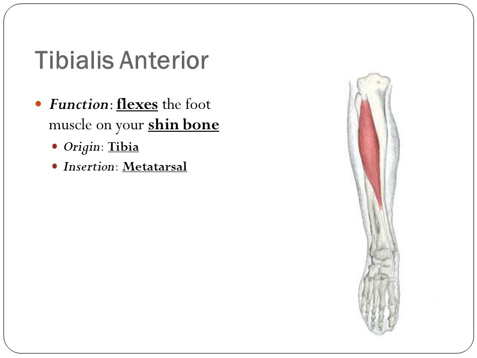 Tibialis Anterior Function: flexes the foot muscle on your shin bone