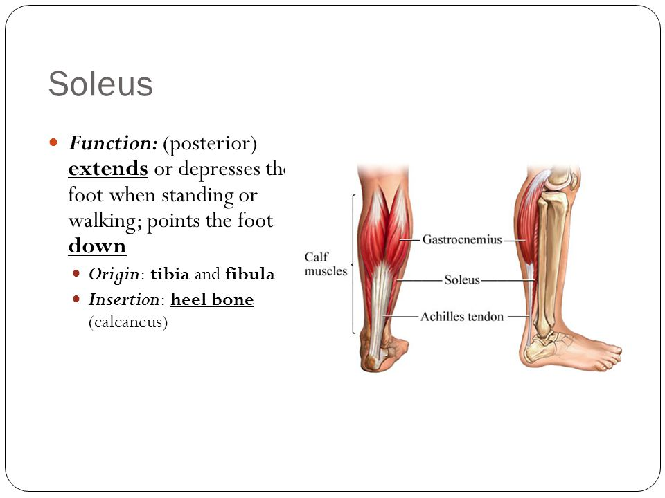 Soleus Function: (posterior) extends or depresses the foot when standing or walking; points the foot down.