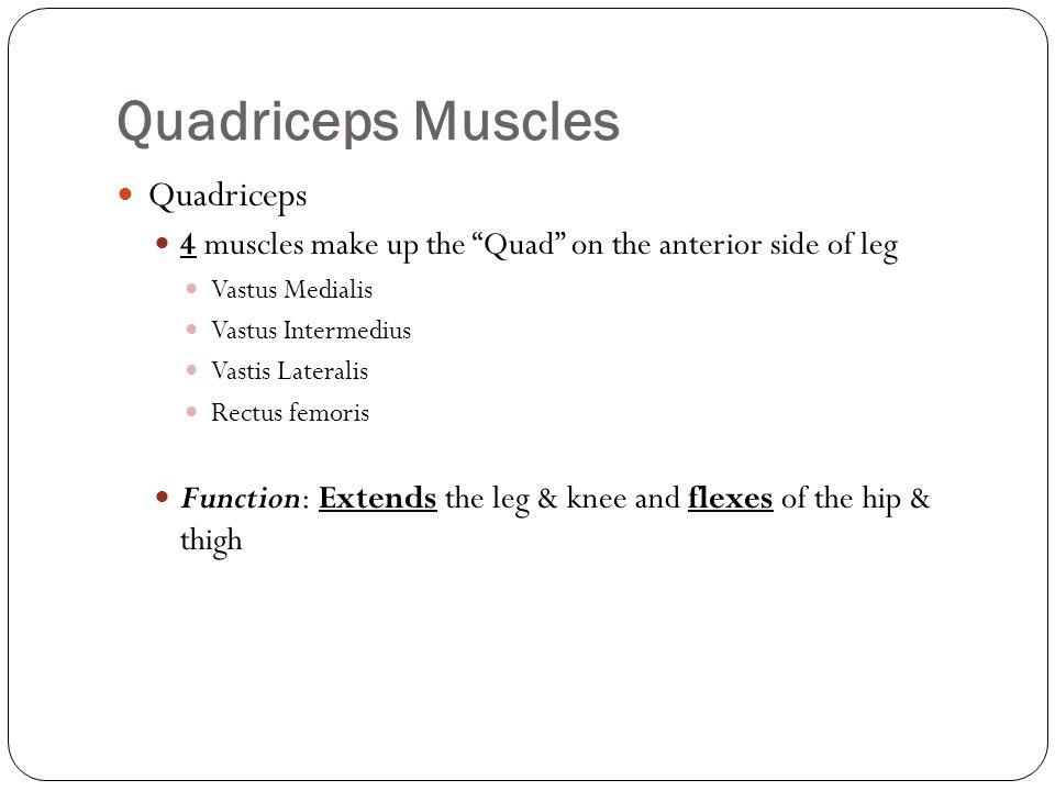 Quadriceps Muscles Quadriceps