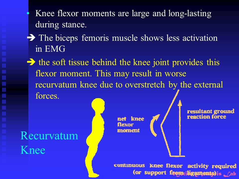 Knee flexor moments are large and long-lasting during stance.