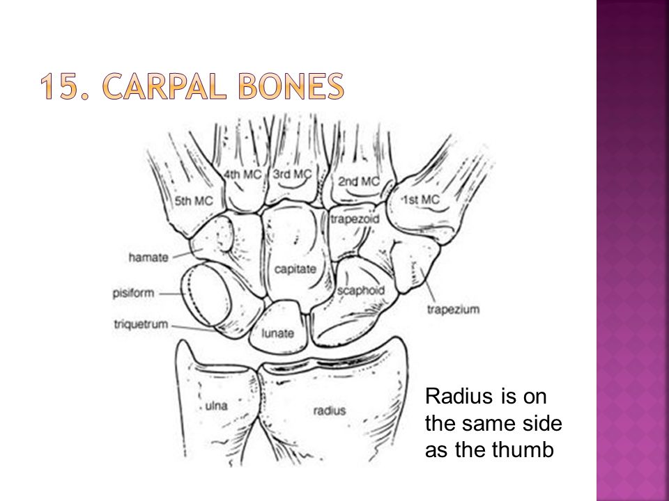 15. Carpal bones Radius is on the same side as the thumb