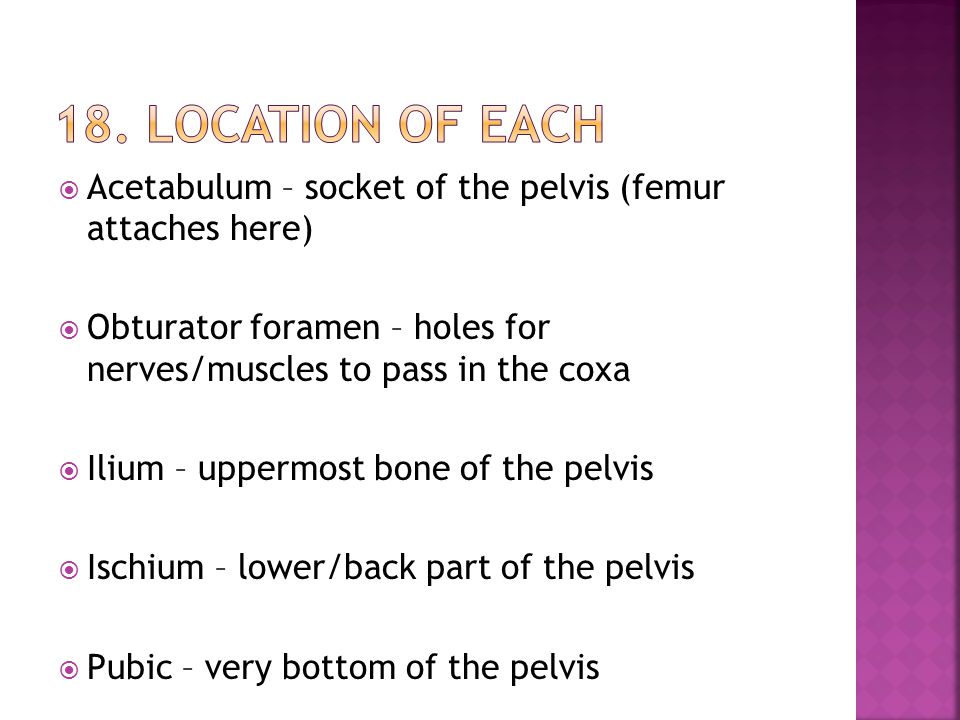 18. Location of each Acetabulum – socket of the pelvis (femur attaches here) Obturator foramen – holes for nerves/muscles to pass in the coxa.