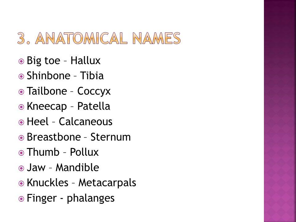 3. Anatomical names Big toe – Hallux Shinbone – Tibia