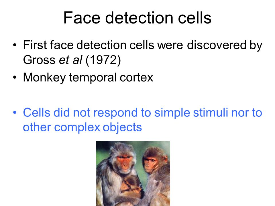 Face detection cells First face detection cells were discovered by Gross et al (1972) Monkey temporal cortex.