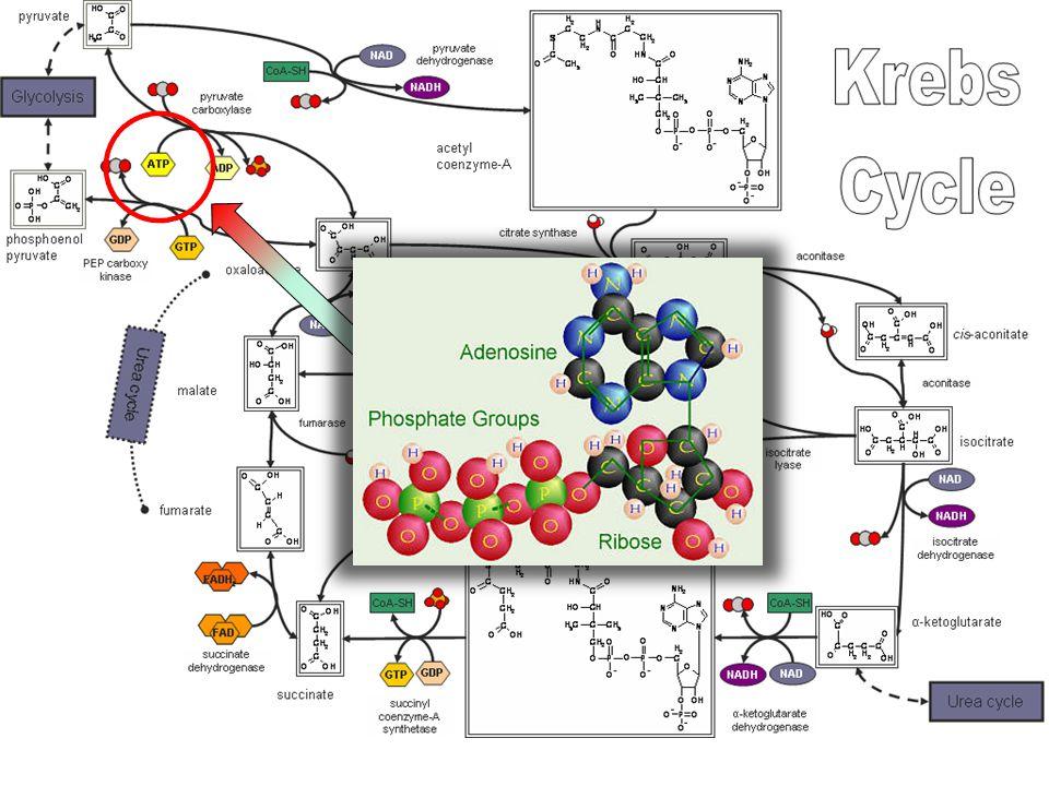 http://www.steve.gb.com/science/oxidative_phosphorylation.html