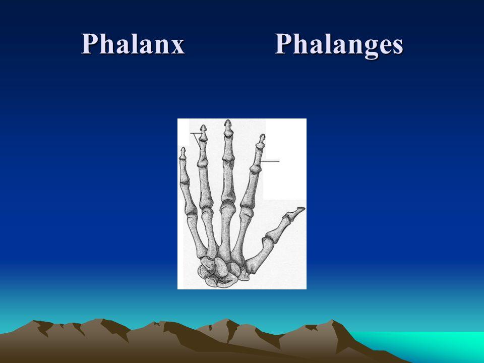 Phalanx Phalanges
