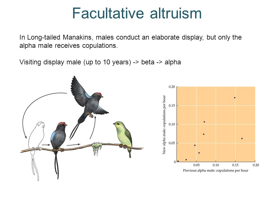 Facultative altruism In Long-tailed Manakins, males conduct an elaborate display, but only the alpha male receives copulations.