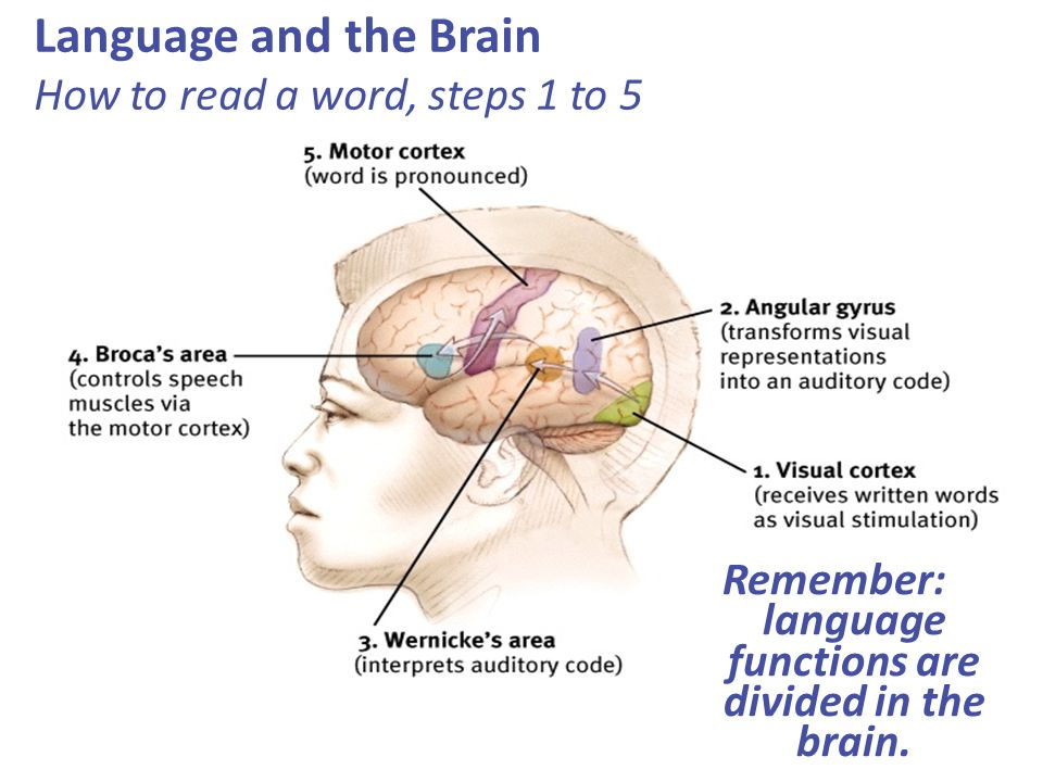 Language and the Brain How to read a word, steps 1 to 5