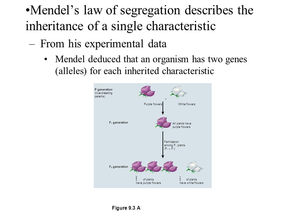 Mendel's law of segregation describes the inheritance of a single characteristic