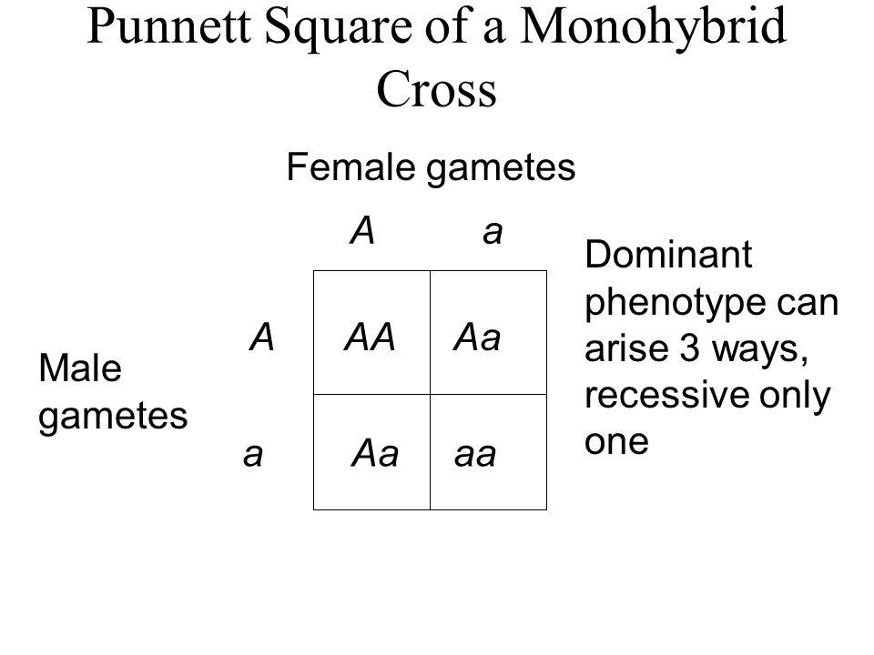 Punnett Square of a Monohybrid Cross