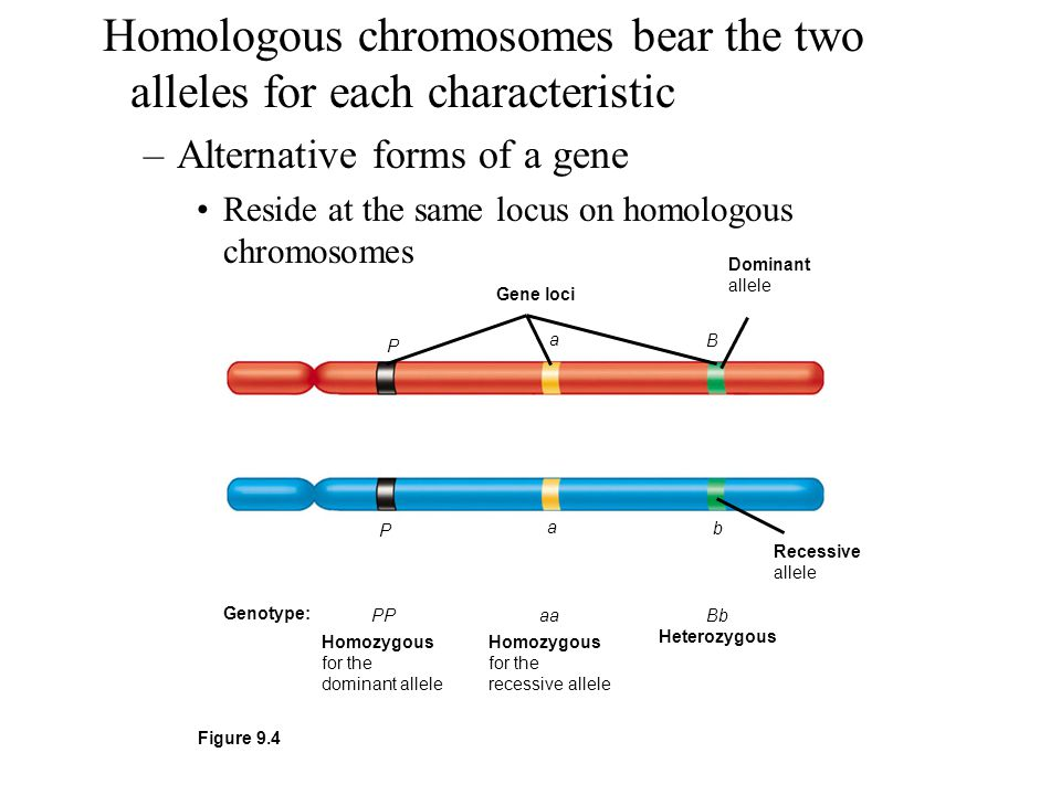 Homologous chromosomes bear the two alleles for each characteristic