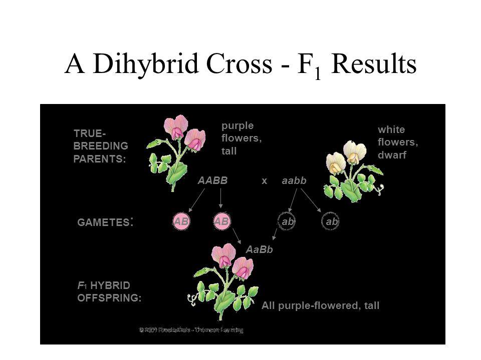 A Dihybrid Cross - F1 Results