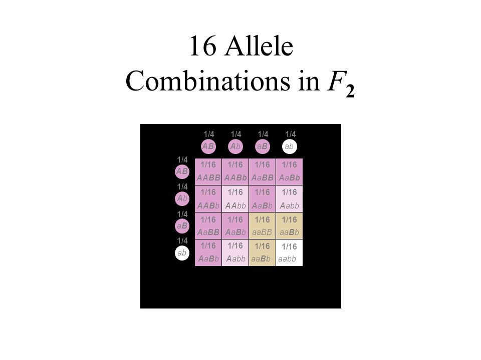 16 Allele Combinations in F2