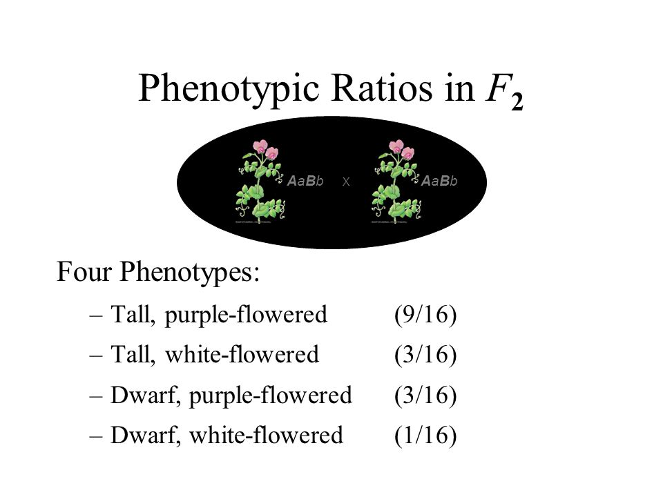 Phenotypic Ratios in F2 Four Phenotypes: Tall, purple-flowered (9/16)