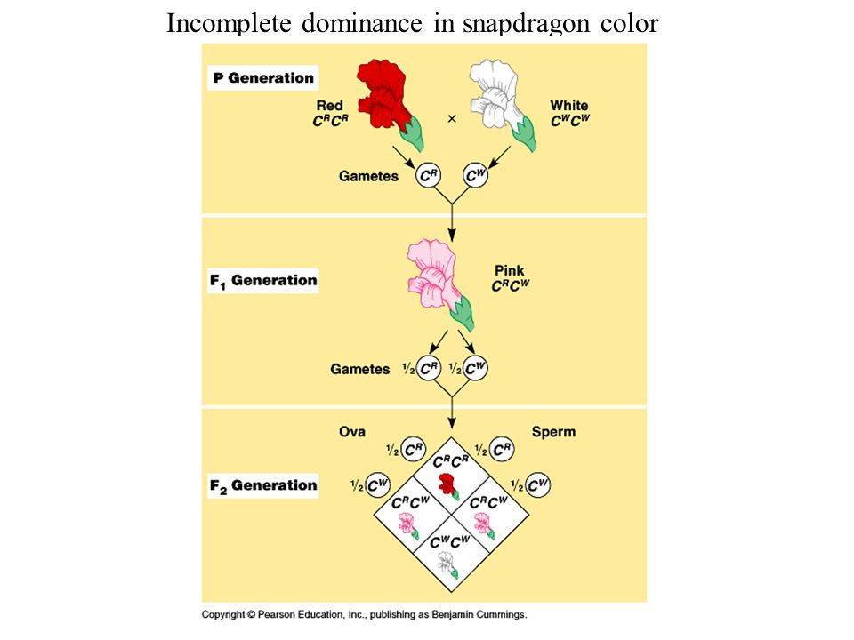 Incomplete dominance in snapdragon color