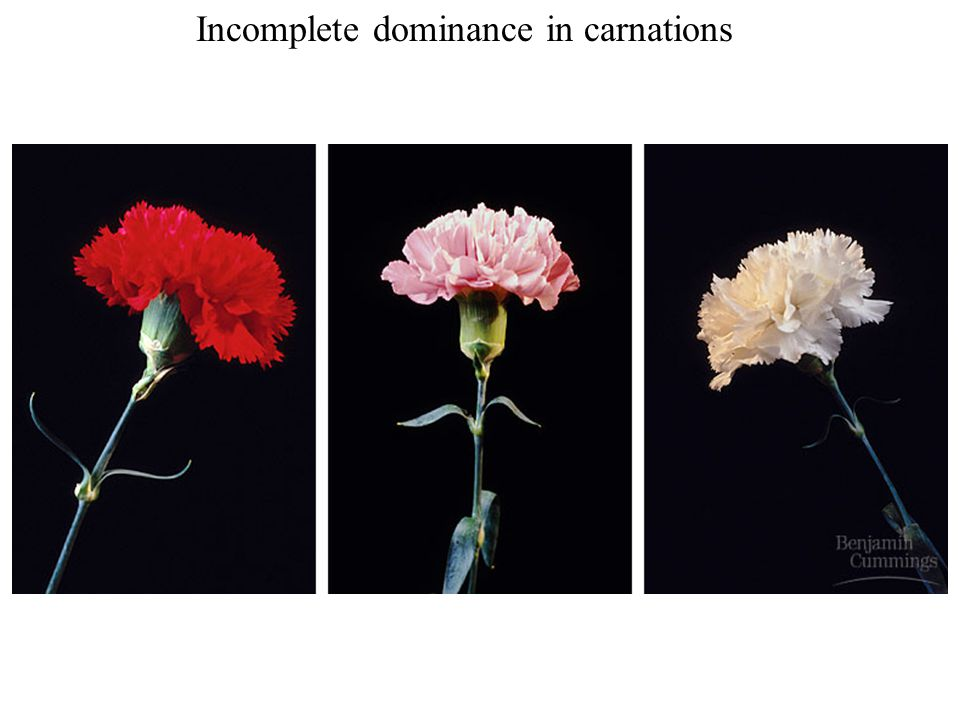 Incomplete dominance in carnations