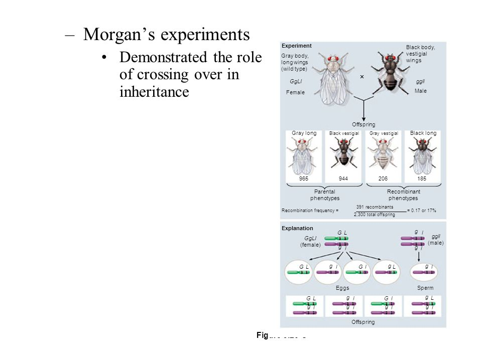 Morgan's experiments Demonstrated the role of crossing over in inheritance. Experiment. Gray body,