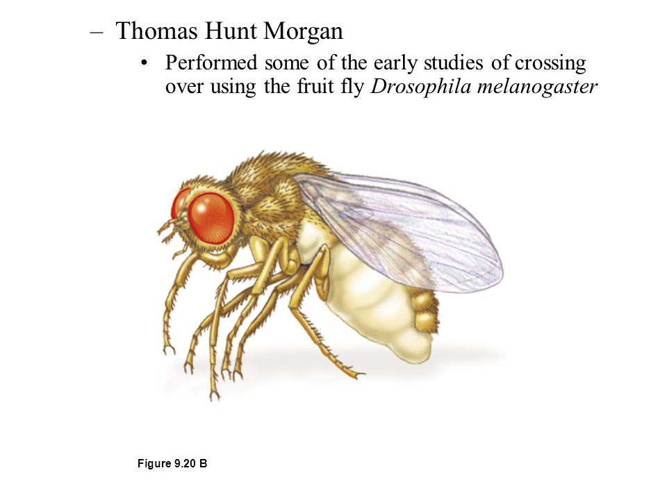 Thomas Hunt Morgan Performed some of the early studies of crossing over using the fruit fly Drosophila melanogaster.