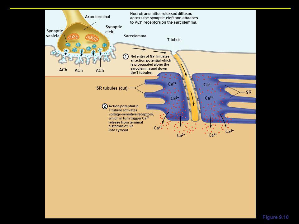 Figure 9.10 Synaptic cleft vesicle 1 ACh SR tubules (cut) SR Ca2+ 2