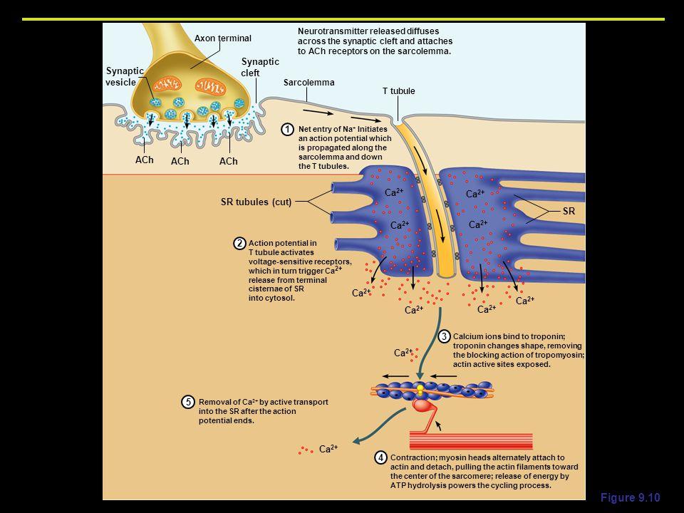 Figure 9.10 Synaptic cleft vesicle 1 ACh SR tubules (cut) SR 2 3 Ca2+