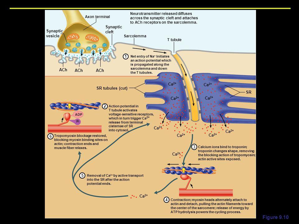 Neuromuscular Junction Ppt Download