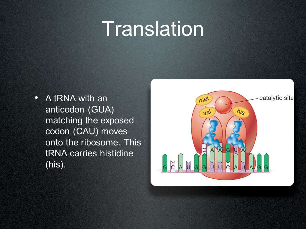 Translation A tRNA with an anticodon (GUA) matching the exposed codon (CAU) moves onto the ribosome.