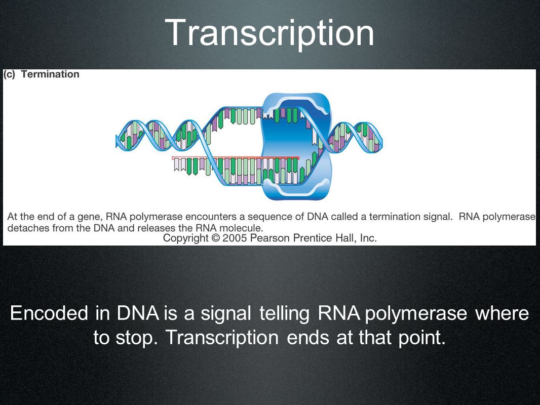 Transcription Encoded in DNA is a signal telling RNA polymerase where to stop.