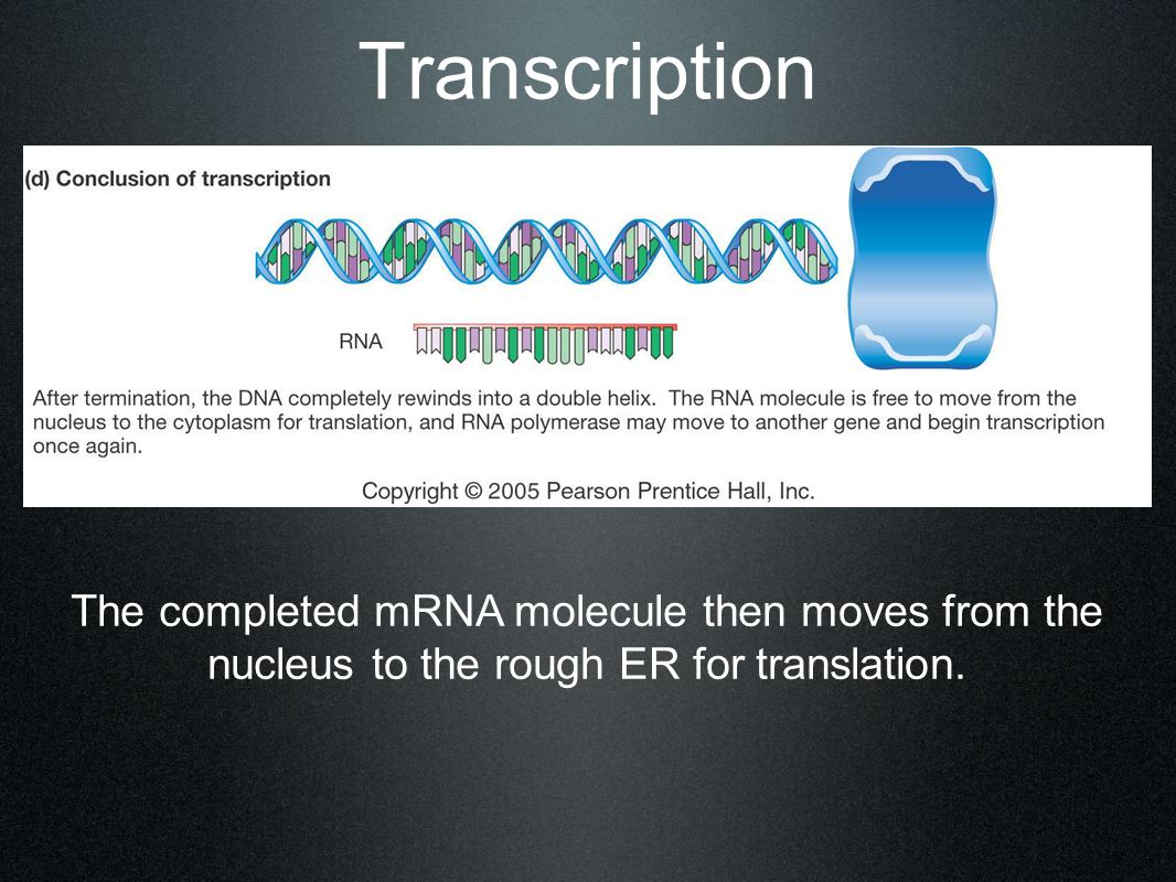 Transcription The completed mRNA molecule then moves from the nucleus to the rough ER for translation.