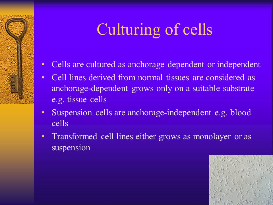 Culturing of cells Cells are cultured as anchorage dependent or independent.