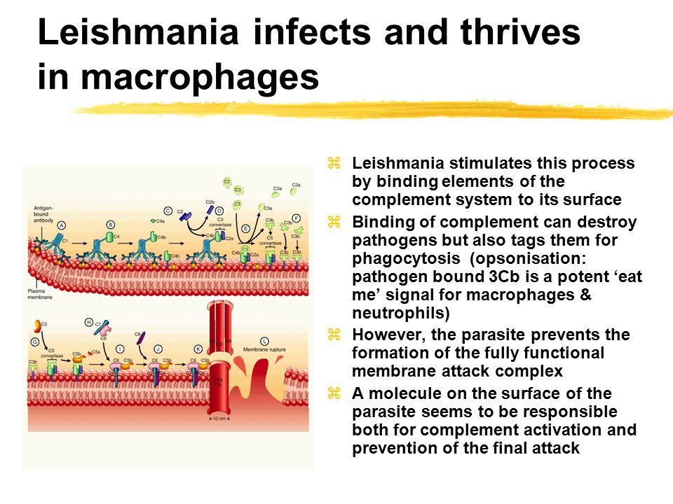 Leishmania infects and thrives in macrophages