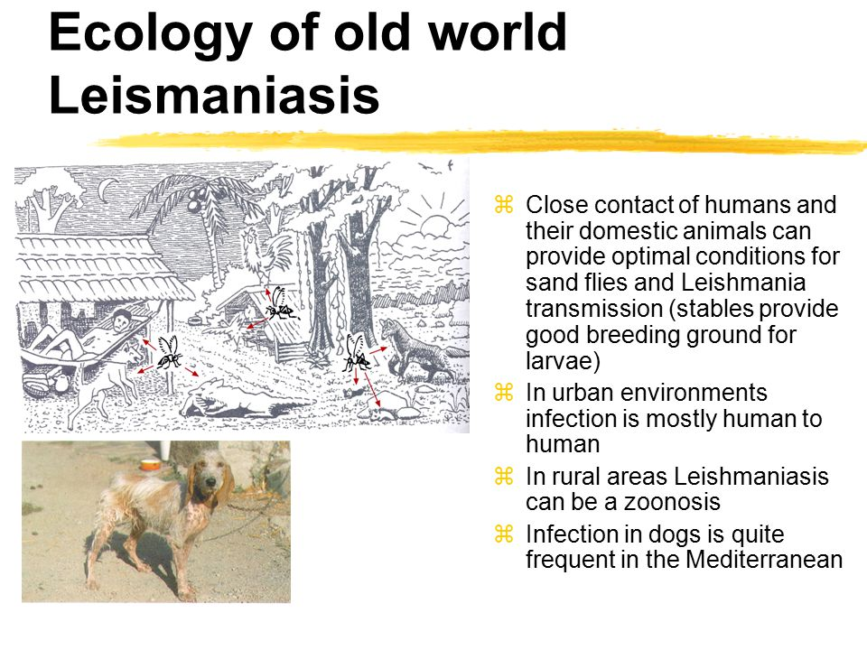 Ecology of old world Leismaniasis