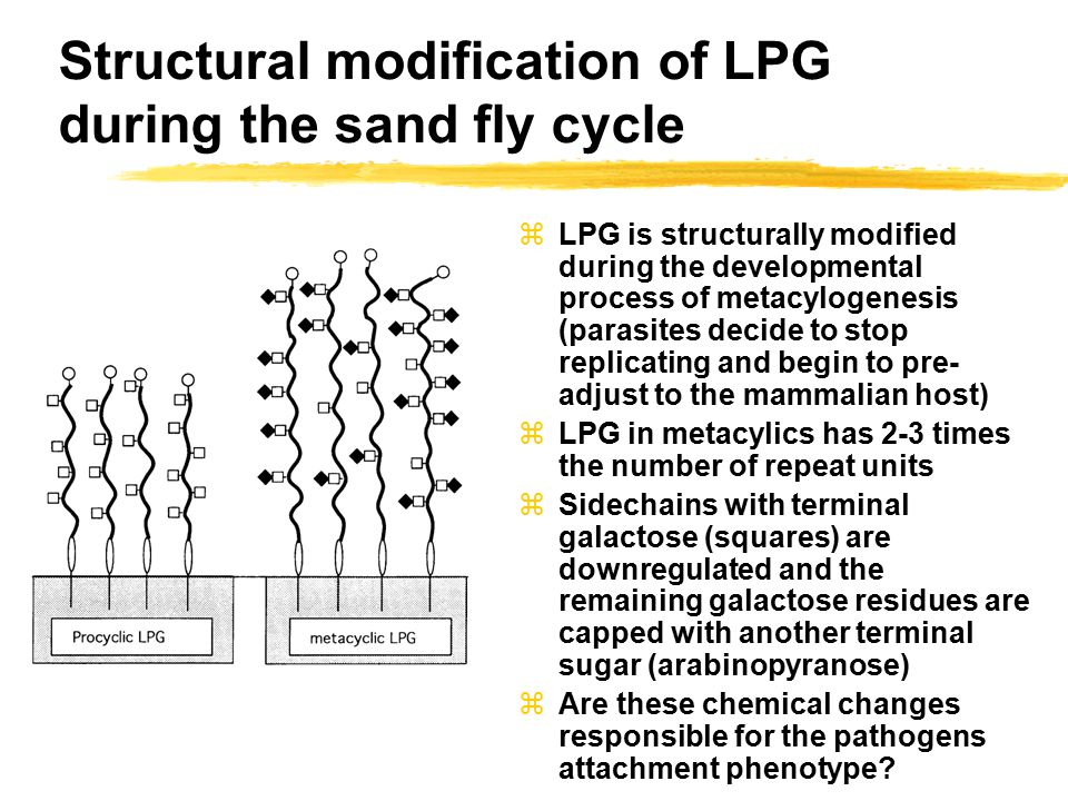 Structural modification of LPG during the sand fly cycle