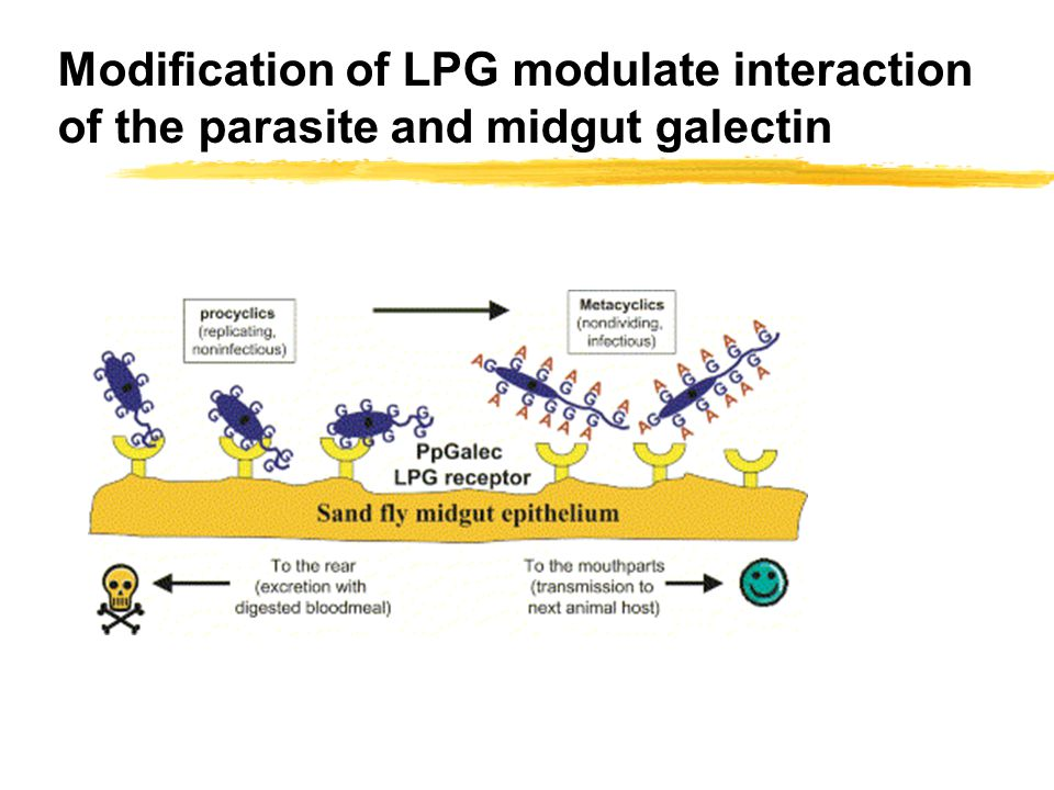 Modification of LPG modulate interaction of the parasite and midgut galectin