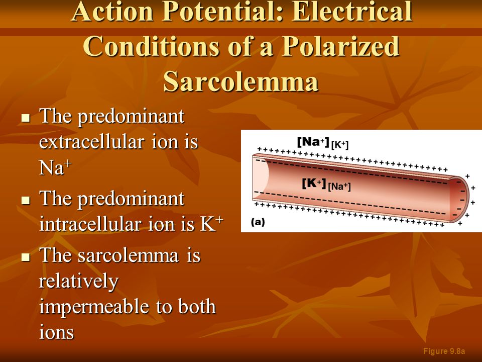 Action Potential: Electrical Conditions of a Polarized Sarcolemma