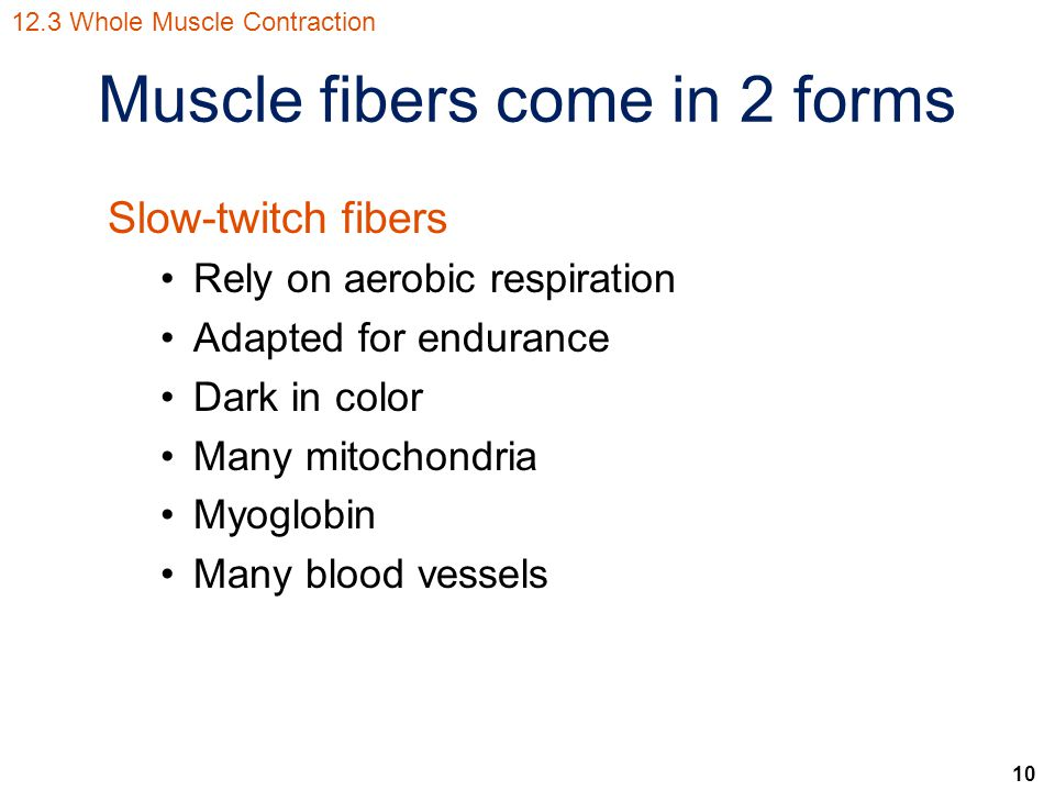 Muscle fibers come in 2 forms