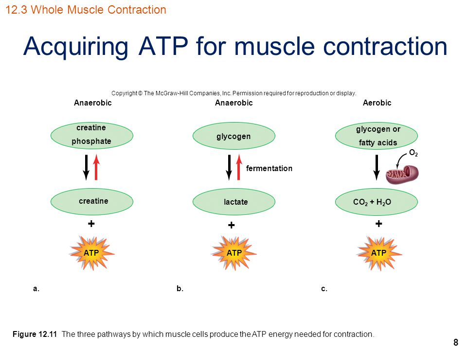 Acquiring ATP for muscle contraction