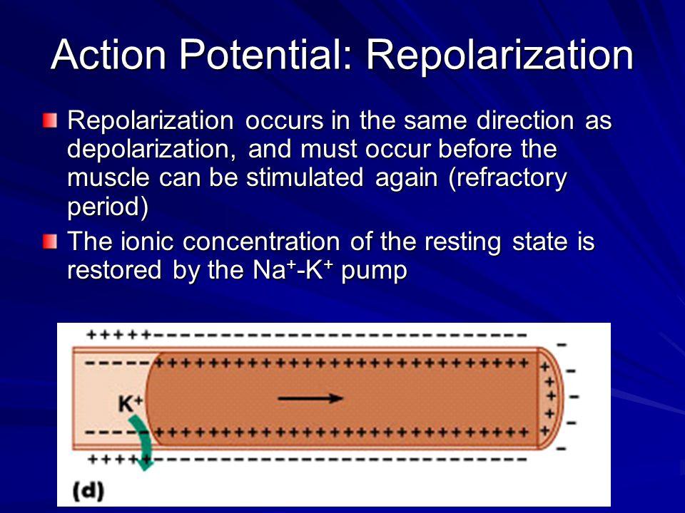 Action Potential: Repolarization