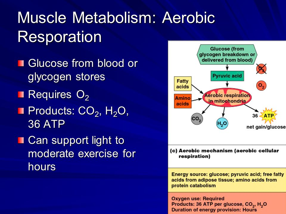 Muscle Metabolism: Aerobic Resporation