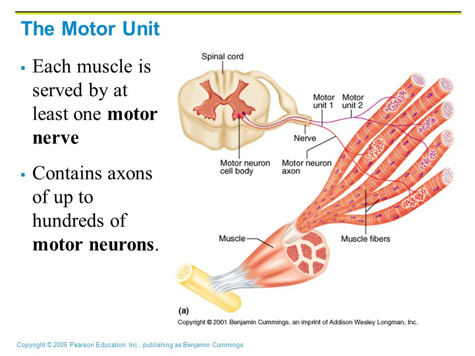 The Motor Unit Each muscle is served by at least one motor nerve.