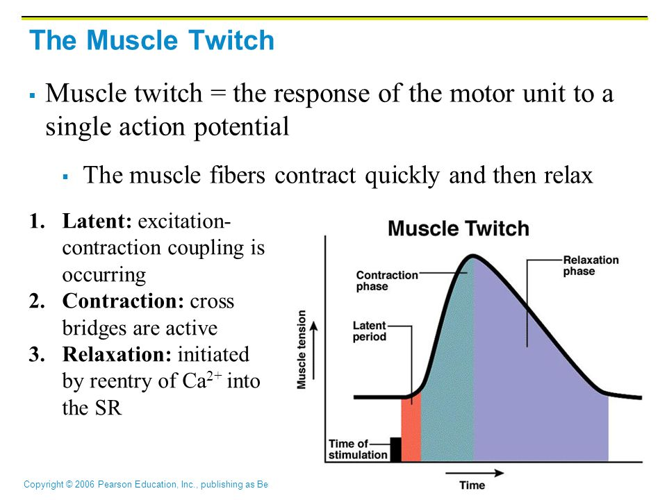 The Muscle Twitch Muscle twitch = the response of the motor unit to a single action potential. The muscle fibers contract quickly and then relax.