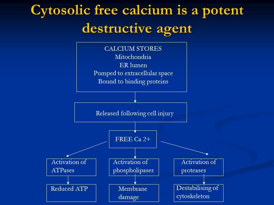 Cytosolic free calcium is a potent destructive agent
