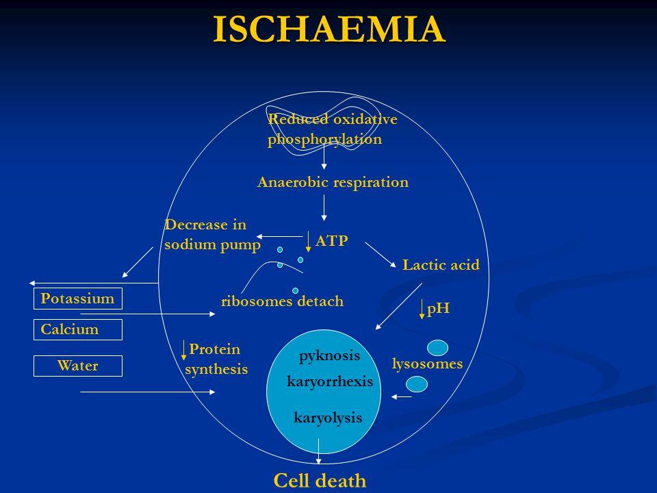 ISCHAEMIA Cell death Reduced oxidative phosphorylation