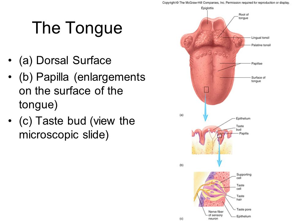 The Tongue (a) Dorsal Surface
