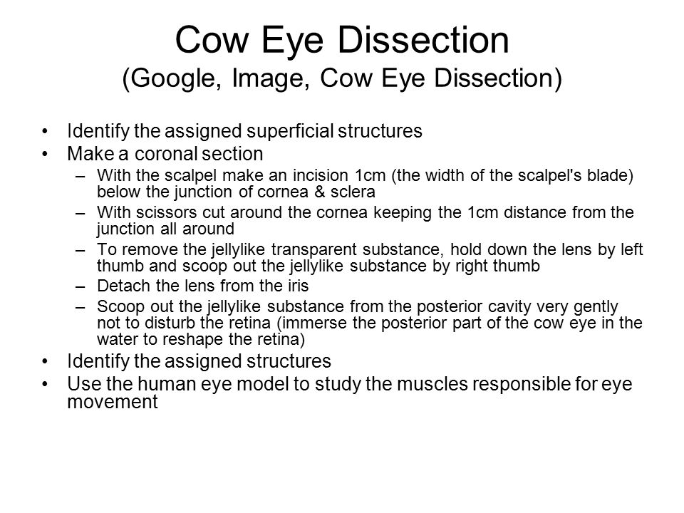 Cow Eye Dissection (Google, Image, Cow Eye Dissection)