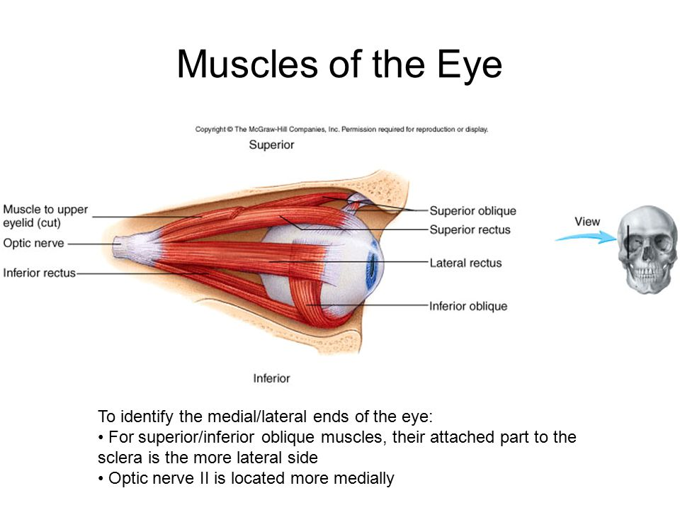 Muscles of the Eye To identify the medial/lateral ends of the eye: